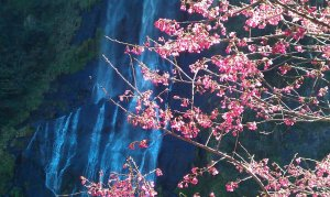 Photo by 莊豐嘉, Febr. 2012. Plum blossoms & waterfall in Wulai, Taipei County.